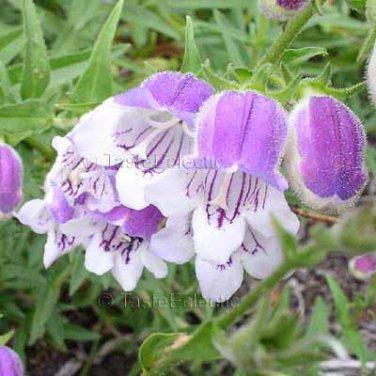 Penstemon campanulatus 35 seeds DWARF BELLFLOWER BEARDTONGUE Pretty Exuberant DROUGHT-TOLERANT