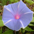 YOJIRO NO CHIAKI Sky Blue White Pinwheel Japanese Morning Glory 5 seeds OPEN ALL DAY Vine