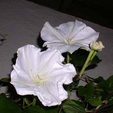 Ipomoea alba 20 seeds WHITE MOON FLOWER VINE Giant Fragrant Evening Glory EZ FAST GROW