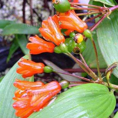 Bomarea aff. distichophylla 8 seeds V DIFFERENT Hard-To-Find