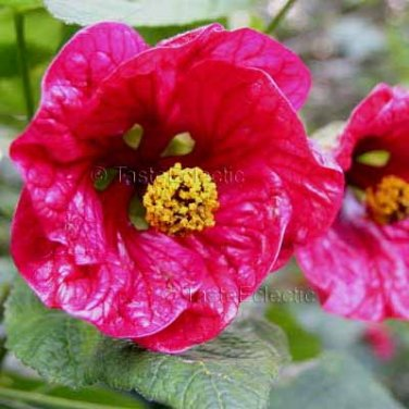 Abutilon Hybridum Cherry 10 Seeds Flaring Waxy Pink