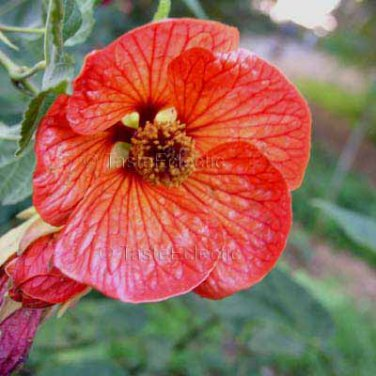Abutilon hybridum 'Veined Orange' 10 seeds DISTINCTIVE Shade FLOWERING MAPLE Chinese Bell Flower