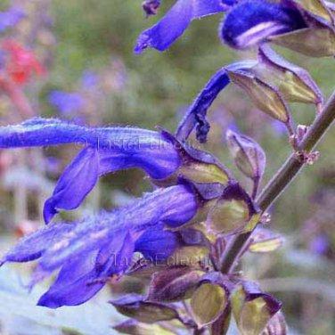 Salvia mexicana Bicolor Calyx 8 seeds MEXICAN SAGE