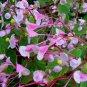 Begonia grandis 35 seeds HARDY BEGONIA Red Veined Underside LOVELY Z6