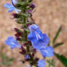 Salvia uliginosa 14 seeds AZURE BLUE BOG SAGE V Hard-To-Find AGM Z6