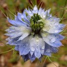Nigella damascena Miss Jekyll Blue 100+ seeds LOVE IN A MIST Easy COLOR CHANGE