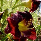 Hemerocallis MAROON 26 seeds Easy DAYLILY Day Lily Z3