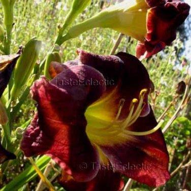 Hemerocallis MAROON 26 seeds Easy DAYLILY Day Lily Z3