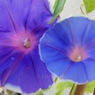 PURPLE TIDES Mutation Japanese Morning Glory 10 seeds VARIATIONS SALE