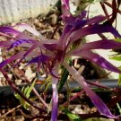 CRYSTAL VARIEGATED Willow-Dianthus Lilac Demono Mutant Japanese Morning Glory 32 seeds V RARE SALE