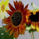 Evening Sun Helianthus annuus 100 seeds Cheery Hues SUNFLOWER Bicolor Multi-head SALE