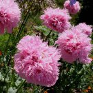 Papaver somniferum paeoniflorum 'Pink' 100+ seeds PEONY POPPY So Pretty Double SHOWY SALE
