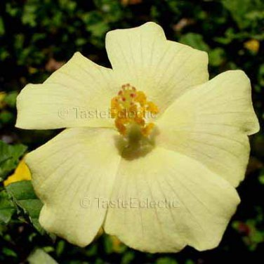 Pavonia praemorsa 10 seeds YELLOW MALLOW Painted Lady Butterfly COLOR CHANGING Hard-To-Find SALE