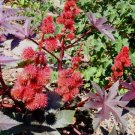 Ricinus communis 'Impala' 15 seeds DWARF CASTOR OIL BEAN Architectural