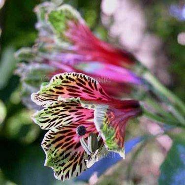 Alstroemeria psittacina 7 seeds PARROT FLOWER Lily Of The Incas CUT FLOWER Hummingbirds