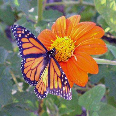 Tithonia rotundifolia 35 seeds MEXICAN SUNFLOWER Heat BUTTERFLIES Bees EASY