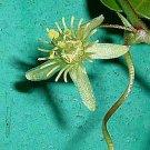 Passiflora suberosa 12 seeds CORK STEM PASSION FLOWER Vine Unique BUTTERFLIES