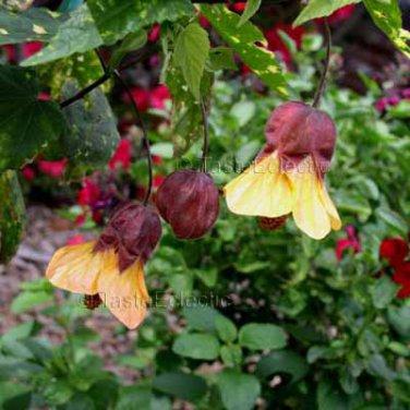 Abutilon Megapotamicum Hybrid Paisley 6 Seeds Variegated