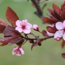 Cherryblossom   (hand l. 4oz)