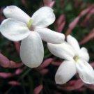 Jasmine  (hand l. 2oz)