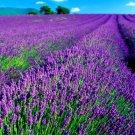 Bulgarian Lavender Top Grade Essential Oil Aromatherapy