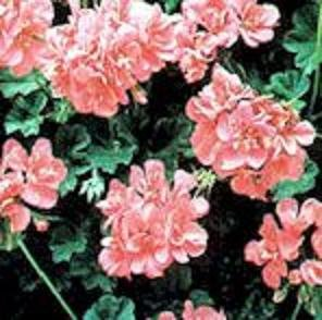 Rose Geranium Essential Oil 1/2 oz Aromatherapy