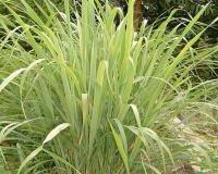 Lemongrass Pure Essential Oil 1/2 oz