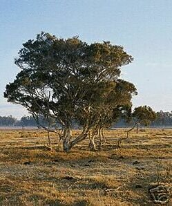 TEA TREE PURE UNCUT ESSN OIL 1/2 OZ (15 ml)