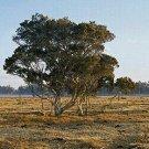 TEA TREE PURE UNCUT ESSN OIL 1 OZ (30 ml)