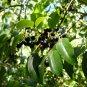 15 - Organic Maqui / Chilean Wineberry (Aristotelia Chilensis) Seeds