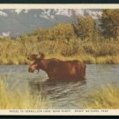 1950s Canadian Pacific Railway Postcard - Moose in Vermillion Lake, BANFF National Park, Canada