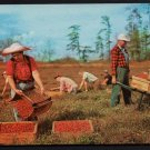 1960s(?) CAPE COD, Massachusetts - Cranberry Harvesting - Unused Postcard