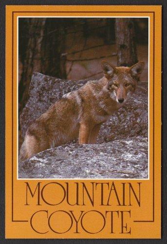 1980s SIERRA NEVADA MOUNTAINS, CALIFORNIA - Mountain Coyote - Unused Postcard