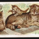 ARM & HAMMER Victorian Trade Card - Interesting Animals - WILD CAT (#59)