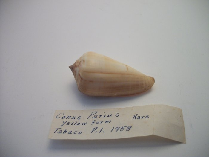 Conus Parius
