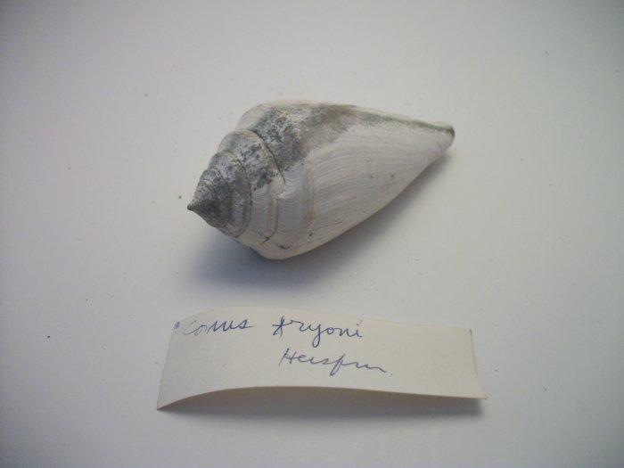 Conus Faroni