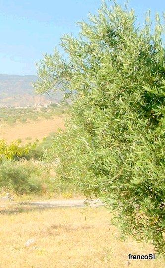 FRESH OLIVE LEAVES HERBAL USE see list
