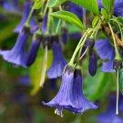 10 IOCHROMA AUSTRALIS   BLUE mini brugmansia seeds   pp--FREE