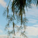 WASHINGTONIA ROBUSTA FAN PALM SEEDS 50