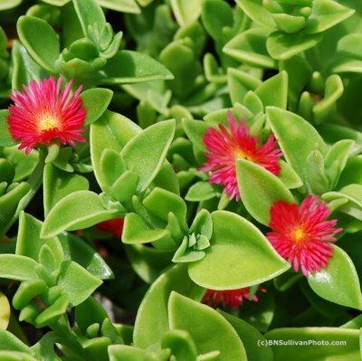 """aptenia cordifolia """"red apple"""" ice plant - succulent"""