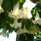 2 brugmansia HUGE WHITE angel trumpets cuttings