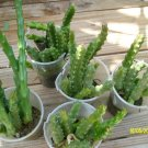 stapelia - starfish cactus - rooted plant . 3-4 or more b weight