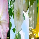 20 BRUGMANSIA MIXED SEEDS - PINK & YELLOW - angels trumpet