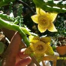 stapelia carrion -starfish flower rooted plant