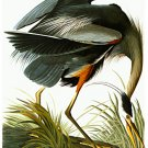 "Audubon ""Great Blue Heron"" HUGE Audubon Fine Art Print"