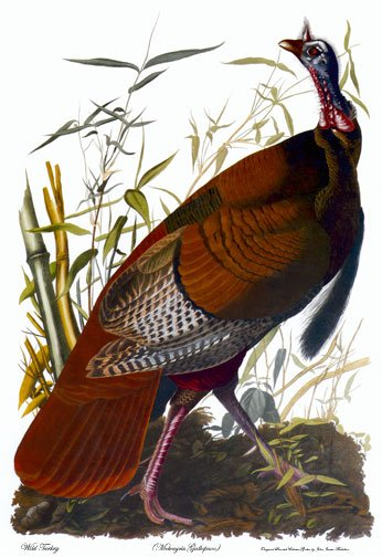 "Audubon ""Wild Turkey"" HUGE Audubon Art Print Edition"