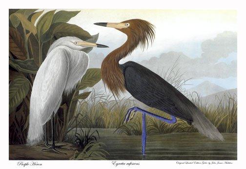 "Audubon ""Purple Heron"" HUGE Audubon Art Print Edition"