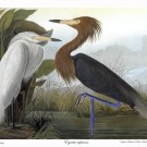 "Audubon ""Purple Heron"" HUGE Audubon Art Print Edition"