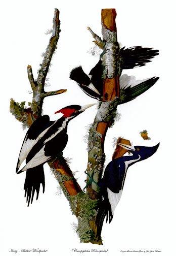 "Audubon ""Ivory-Billed Woodpecker""HUGE Art Print Edition"