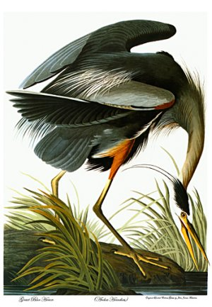 "Audubon ""Great Blue Heron"" BIG Beautiful Art Print"